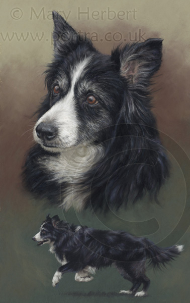 Border collie portrait by Mary Herbert