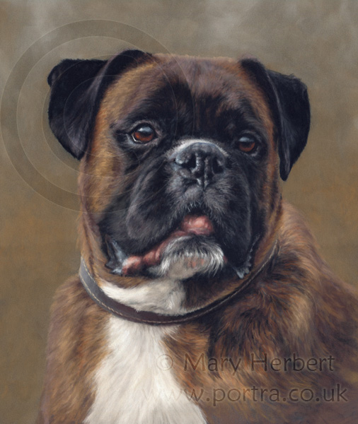 Boxer dog portrait by Mary Herbert