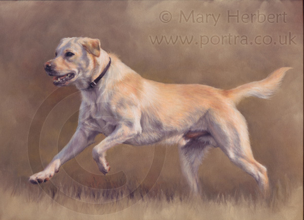 Yellow labrador portrait by Mary Herbert