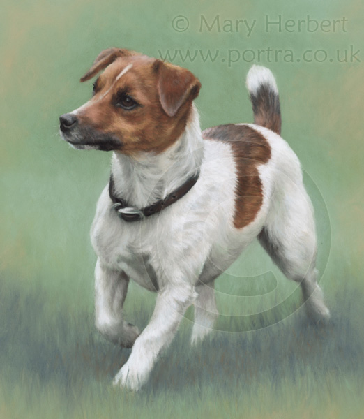 Jack russell terrier JRT portrait by Mary Herbert