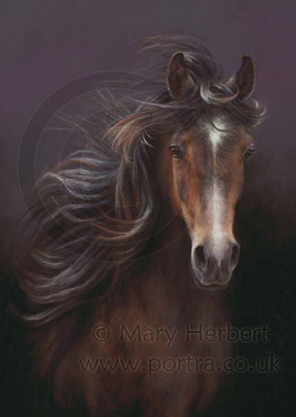 Arabian horse portrait by Mary Herbert