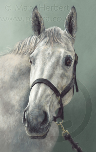 grey horse portrait by Mary Herbert