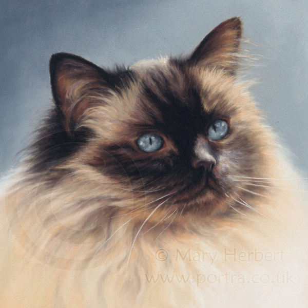 ragdoll cat portrait by Mary Herbert